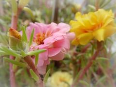 la mia portulaca (fotomie2009) Tags: flower fiore flora portulaca portulacagrandiflora grandiflora pink yellow succulent succulenta bud orange