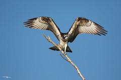 falco pescatore - osprey (simo tony photography) Tags: bird birdwatching wildlife wild nature naturephotography naturalistica