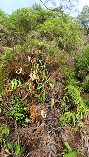 Raffles pitcher plant (Nepenthes rafflesiana)