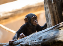 Baby-Schimpanse Loro Parque, Teneriffa (maik_sen) Tags: schimpanse chimpanzee affe ape baby teneriffa tenerife loroparque little small klein portrait tierpark zoo tier tiere animal nature natur animalportrait