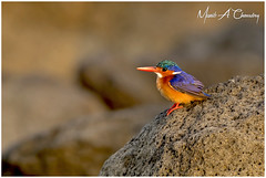 The Colourful Fisher! (MAC's Wild Pixels) Tags: thecolourfulfisher malachitekingfisher corythorniscristatus kingfisher bird birder birdlife birdwatcher birdperfect birdlifephotography beautifulbird colourfulbird avian plumage feathers ornithology animal wildlife africanwildlife wildafrica wildanimal wildbird wildlifephotography safari boatride sunrise goldenhour goldenlight outdoors outofafrica lakebaringo greatriftvalley kenya macswildpixels alittlebeauty coth specanimal coth5 naturethroughthelens ngc npc