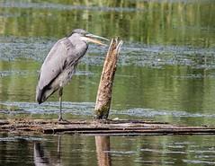Sticking its tongue out (kimbenson45) Tags: animal bird gray grey heron nature outdoors tongue water wildlife