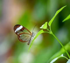 Greta Oto (agnieszka.a.morawska) Tags: bokehlicious beyondbokeh bkhq macro motyl dof bokeh nature glasswingbutterfly gretaoto butterfly
