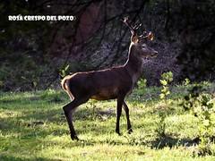 Bambi (Rosa Crespo del Pozo) Tags: ciervo bo