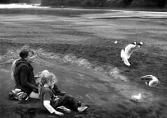 Gull Feeding on Bethells Beach NZ (hughjones777) Tags: beach gulls birdfeeding motherchild