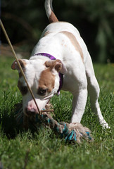 Kya (Falon167) Tags: kya pitbullterrier pitbull pit bull terrier dog