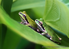 Leaf Buddies (Gary Grossman) Tags: frogs arrowroot plant flora fauna amphibians ridgefield macro nature summer garygrossmanphotography wildlife macrophotography pacifictreefrog treefrog pacificchorusfrog ridgefieldnationalwildliferefuge washington pacificnorthwest