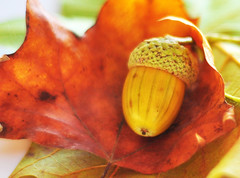 Acorn in leaf (Martyn.Hayes) Tags: autumn fall september october november leaf nature brown red conker acorn stilllife outdoors macro