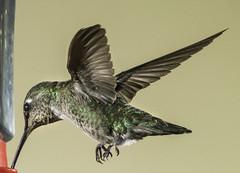 Anna's Hummingbird Hitting The Feeder (Bill Gracey 20 Million Views) Tags: hummingbird hummer hummingbirdphotography offcameraflash yongnuo yongnuorf603n bird birdinflight bif annashummingbird calypteanna poway