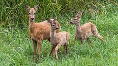 The Deer family (tonyguest) Tags: råget kid roe deer animals nature grass green karlshamn blekinge sverige sweden tonyguest wild