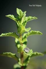 (Terezaki ✈) Tags: spider green spearmint macro insect