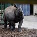 Greater One-horned Rhinoceros 4