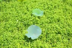 Nelumbo lutea --  American Lotius 0268 (Tangled Bank) Tags: sweetwater wetlands alachua county florida park area outdoors preserve wild nature natural trail hiking nelumbo lutea plant flora botany american lotus 0268