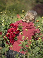 Les dahlias rouges * (Titole) Tags: dahlias red woman worker field titole nicolefaton