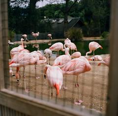 SF Zoo (bior) Tags: zoo sanfrancisco sfzoo sanfranciscozoo portra160nc hasselblad500cm kodakportra expiredfilm mediumformat 120 6x6cm birds flamingo