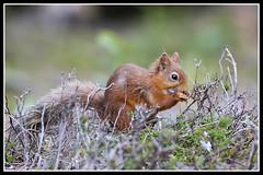 IMG_0077 Red Squirrel (Scotchjohnnie) Tags: redsquirrel sciurusvulgaris squirrel squirrelphotography wildanimal wildlife wildlifephotography wildandfree nature naturephotography naturewildlifeandbirds rodent canon canoneos canon7dmkii canonef70200mmf28lisiiusm scotchjohnnie