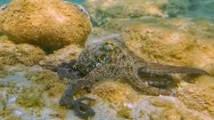 A friendly Cephalopod. (-NEIL-) Tags: snorkeling octopus greece halkidiki mediterranean sea