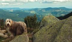 Lotte in the mountains... (friedrichfrank1966) Tags: lotte montagne mountains dogs beardedcollies collies vogesen schwarzwald rocks felsen september france frankreich scenery scene clouds wolken gebirge berge forest wald