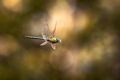 Aeshna affinis. (SweeP_64) Tags: aeshna affinis dragonfly libellule macro proxi cyrille masseys 6ril