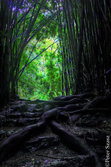 Roots (Peter Szasz) Tags: forest bamboo green shadows dark maui hawaii kipahulu summer island landscape nature roots path strong tropical hdr