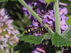 NGIDn1064808774 (naturgucker.de) Tags: ngidn1064808774 tiere wespe insekten makro