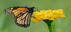 Monarch on Zinnia (Diane G. Zooms---Mostly Off) Tags: monarch zinniawithmonarch monarchandzinnia nature dianegiurcophotography alittlebeauty fantasticnature