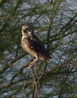 Burrowing Owl [Western] (Athene cunicularia hypugaea) 08-03-2018 Scottsdale Community College, Maricopa Co. AZ 4