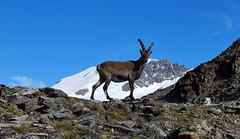 STAMBECCO Q.SELLA (Ferdinando Tubito) Tags: montagna neve nikon stambecco fauna cielo campagna silenzio vento aria mammifero