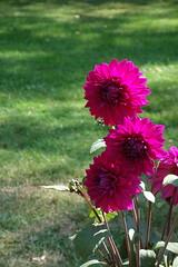 summer flowers 2018 (7) (mgheiss) Tags: dahlias dahlien sony rx100