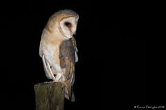 Quand tu cherche un hibou mais tu ne le trouve pas... (DorianHunt) Tags: birds birdsofprey barnowl switzerland september 2018 nikond500 sigma 150600mm