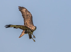 Common Buzzard (donnasmith13) Tags: hunting buzzard commonbuzzard bird sky wildlife hawk animal isleofwight