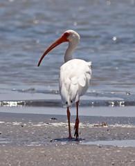 White Ibis (1krispy1) Tags: ibis whiteibis texasbirds