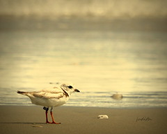 I'll see you in my dreams (Judecat (back on the farm)) Tags: nature wildlife newjerseywildlife stoneharborpoint endangered pipingplover