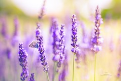 Summer meadow and mood (icemanphotos) Tags: butterfly provence meadow relax solitude calmness nature canon
