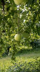 Pine Tree Apple Orchard (Lzzy Anderson) Tags: minnesota unitedstates us pinetreeappleorchard appleorchard orchard whitebearlake september fall summer autumn apple appletree green greenapple
