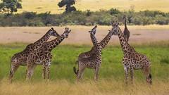 Playful Giants (Tauseef Zafar (Digital Fly)) Tags: playfulgiants giraffes masaimara wildlifeofmasaimara kenya wildlifeofkenya canoneos7dmarkii tauseefzafar