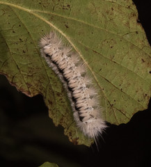 Hickory Tussock Moth (drkilmer) Tags: frederick maryland unitedstates us