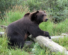 Brown Bear in Alaska (Len Radin) Tags: bear brownbear gurdwood alaska grizzly brown touring bicycletour parksandtrails eire travel radin feltbicycle