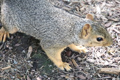 Exciting Day With Squirrels in Ann Arbor at the University of Michigan (August 21st, 2018) (cseeman) Tags: gobluesquirrels squirrels annarbor michigan animal campus universityofmichigan umsquirrels08212018 summer eating peanut augustumsquirrel babysquirrel08212018 babysquirrel foxsquirrels easternfoxsquirrels michiganfoxsquirrels universityofmichiganfoxsquirrels