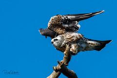 Mississippi Kite - Ictinia mississippiensis | 2018 - 3 (RGL_Photography) Tags: accipitridae birds birdsofprey birdwatching gardenstate ictiniamississippiensis jerseyshore mississippikite mothernature newjersey nikonafs600mmf4gedvr nikond810 oceancounty ornithology pinebarrens pinelands raptors us unitedstates wellsmillscountypark wildlife wildlifephotography ©2018rglphotography