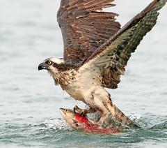 Osprey Hanging Five (ken.helal) Tags:
