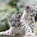 Snow Leopard Kittens