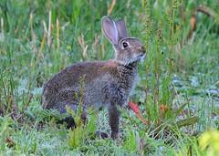 Wild rabbit (gillybooze) Tags: ©allrightsreserved animal rabbit mammal grass bokeh outdoor dof wildlife plants outside wild