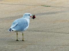 Gull stealing apples (sharon'soutlook) Tags: seagull bird crabapple stealing outdoors summer michigan portrait feathers grayandwhite