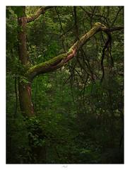 Take Me With You (Max Angelsburger) Tags: kirnbachtal niefern öschelbronn niefernöschelbronn kirnbach landscape tree glow moss mossy dead green 2018 woodland