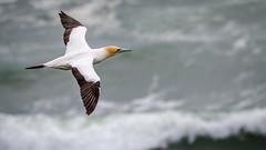 Perfect Flying Machine (Stefan Marks) Tags: tasmansea animal australasiangannet bird flying gannet morusserrator nature ocean outdoor aucklandwaitakere northisland newzealand