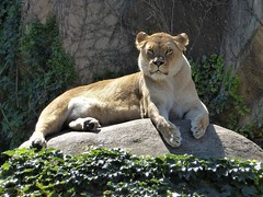 Chicago, Lincoln Park Zoo, Lioness (Mary Warren 11.2+ Million Views) Tags: chicago lincolnpark zoo nature fauna mammal lioness