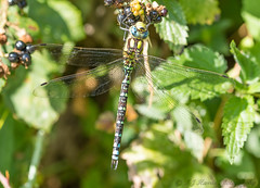 Southern Hawker (ian._harris) Tags: august bug colours d7200 d750 dragonfly flickr fowlmere insect life macro naturaleza natural nature naturephotography nikon rspb sigma summer sunny wildlife