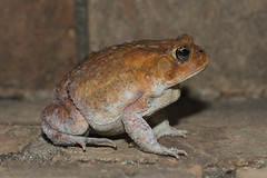 Southern Toad (ninjabirder) Tags: june2018 southerntoad herps amphibians frogs toads