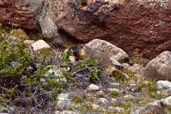 Marmot (MarkusR.) Tags: mrieder markusrieder nikon d7200 nikond7200 vacation urlaub fotoreise phototrip usa 2017 usa2017 colorado rockymountains rockymountainnationalpark landscape landschaft natur nature nationalpark hiking wandern hike trail wanderung tier animal marmot murmeltier wildlife cublaketrail